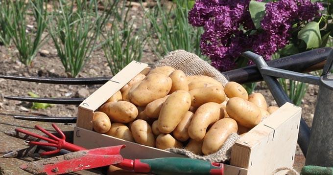 patates-jardin-680x358
